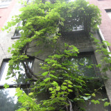 Latif Jiji's vine growing up the back of the townhouse in summer.