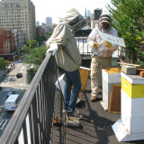 Andrew and his assistant examine one of the rooftop hives on 2nd Avenue. A hive consists of boxes of frames, kind of like a filing cabinet full of files. The bees build wax onto each frame and fill it with nectar they gather from street trees, garden, park and windowbox flowers, and also add a preservative enzyme. They cap each cell with wax, and the substance becomes honey.