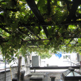 By late summer, grapes cover the rooftop arbor in thick bunches that block the sun.