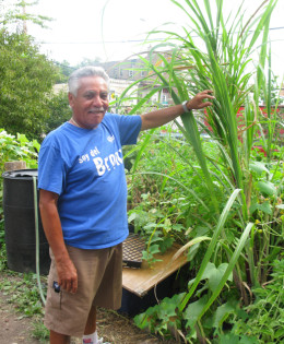 Jorge Torres grows sugar cane in a community garden in the Bronx.