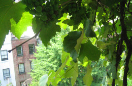Looking through the rooftop grapevine to the city.
